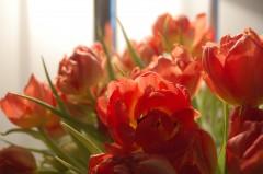tulipes de printemps3.JPG