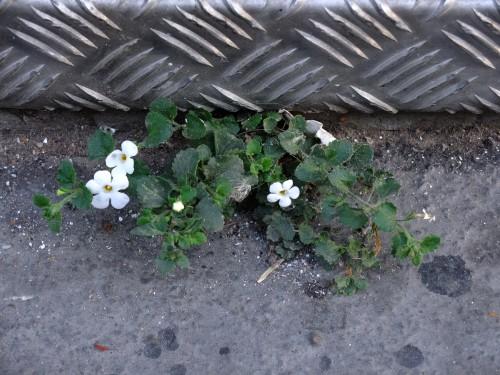 fleur blanche asphalte.jpg