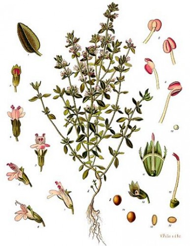 thym-botanique.jpg